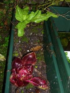Raddiccio & Leaf Chicory