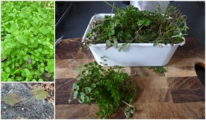 Clockwise from right: Hairy Bittercress, Wood Sorrel, Chickweed