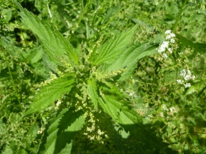 Flowering nettle