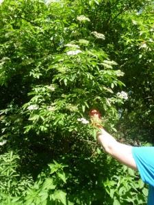Gathering Elderflowers