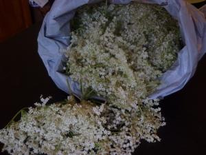 Harvested elderflowers