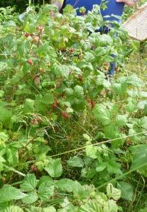 Wild raspberry