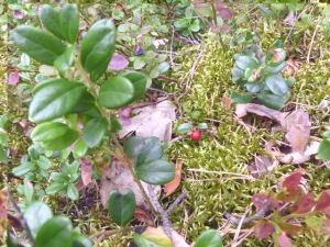 Unripe lingonberry