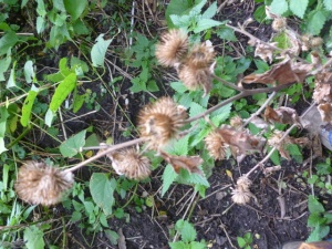 Burdock burrs, ready for picking