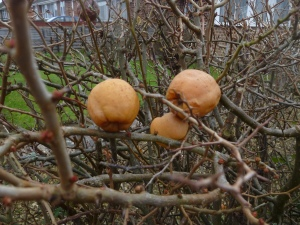 Japanese Quince on the bush