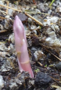 Asparagus Shoots Coming Anew in My Garden