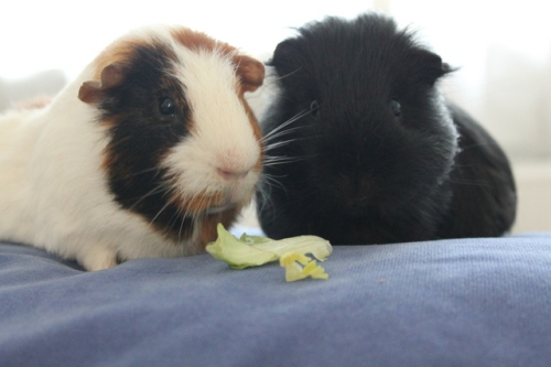 Guinea Pigs help reduce food waste